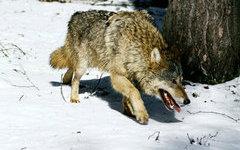 В Забайкалье введен режим ЧС из-за нападения диких животных