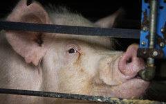 На борьбу с чумой свиней в Волгоградской области направят более 47 млн рублей