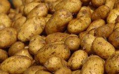 В Великом Новгороде выясняют, как лучше сохранить картофель