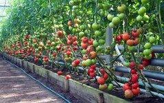 Ростовских овощеводов поддержат финансово