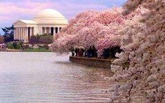 Цветение сакуры можно будет наблюдать на Камчатке