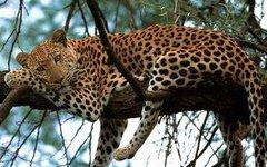 Приморские экологи пересчитали леопардов